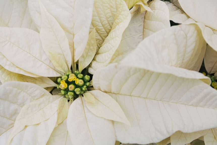 Holiday Plants Perfect for a Festive Decor Update